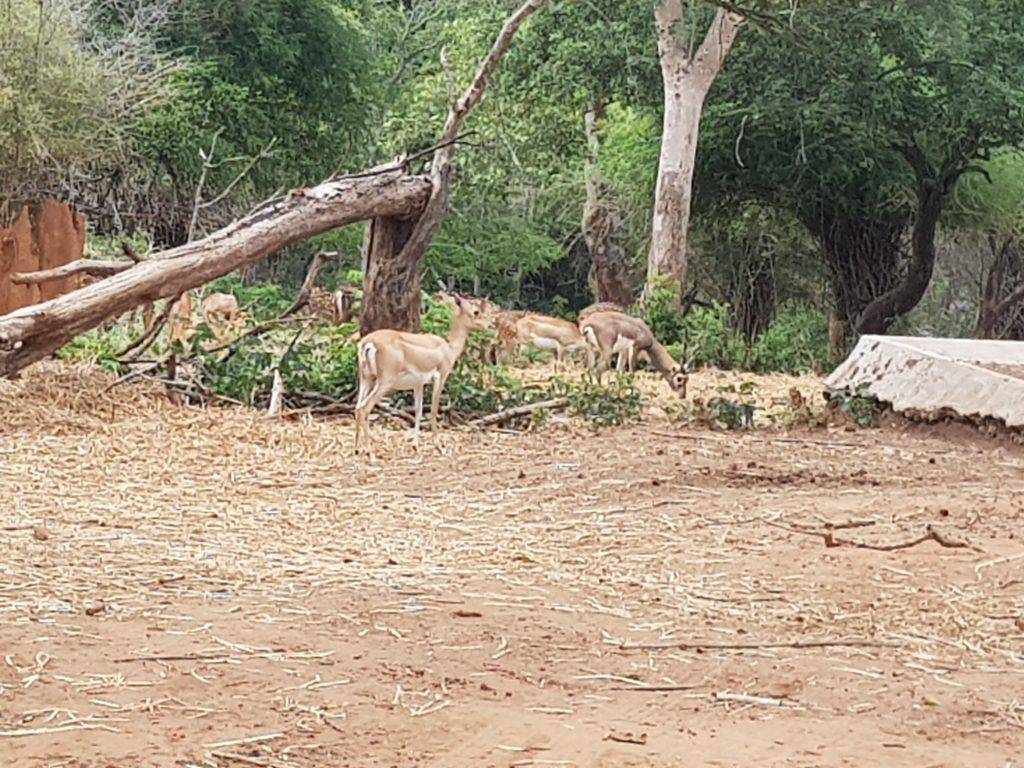 Deer in Herbivorous Section - Bannerghatta National Park