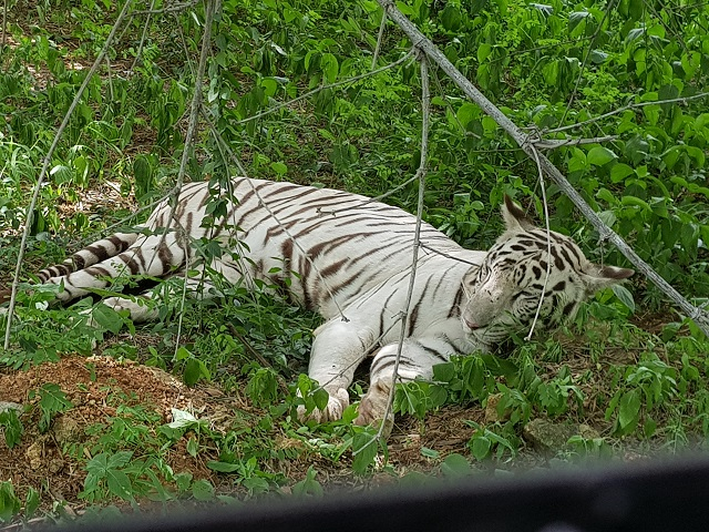 White Tiger in Bannerghatta National Park